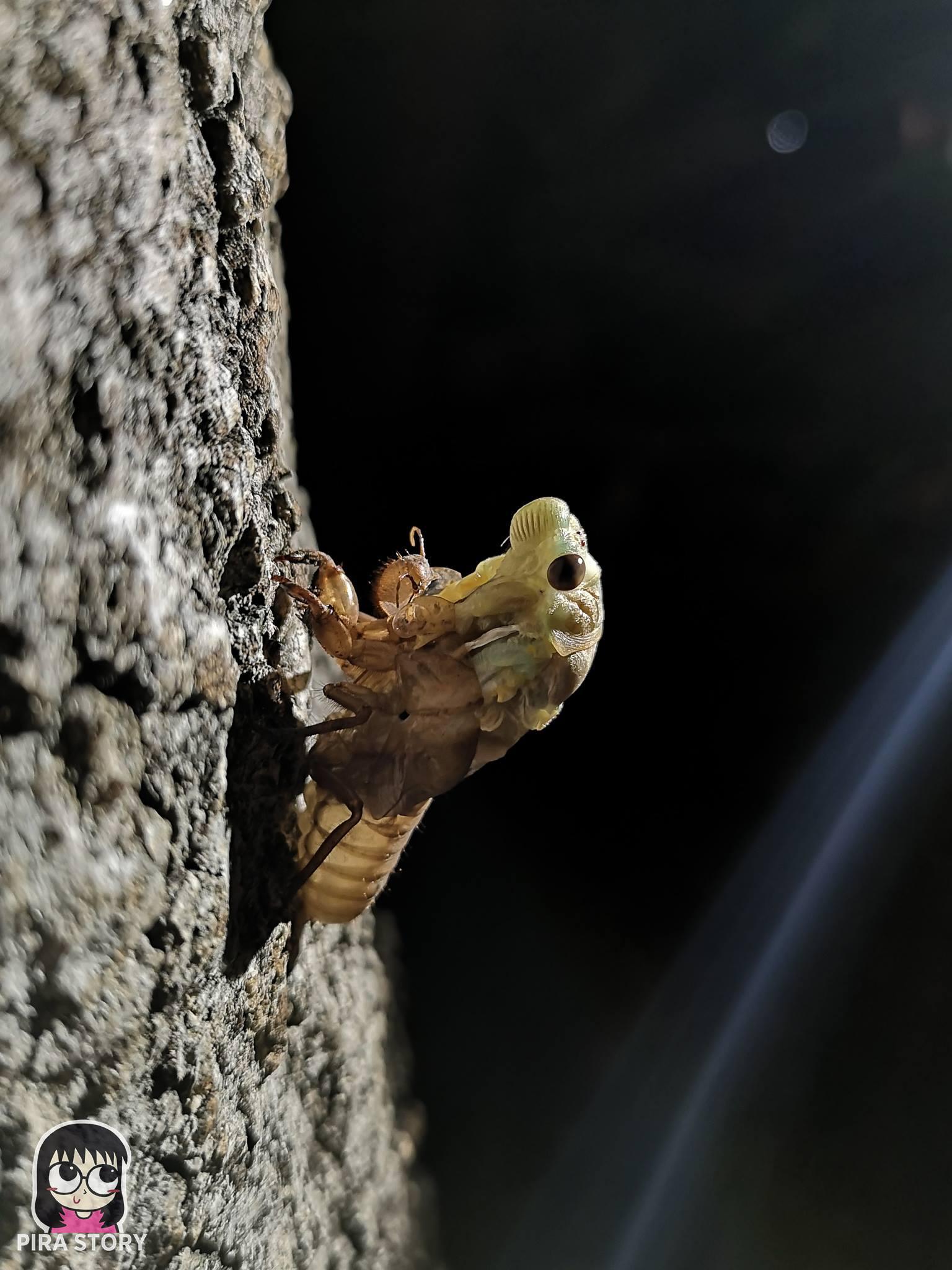 จักจั่น, จั๊กจั่น, cicada, metamorphosis, insect, แมลง