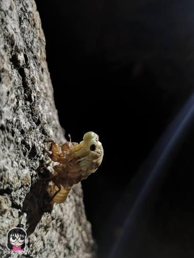 จักจั่น, จั๊กจั่น, cicada, metamorphosis, insect, แมลง 10
