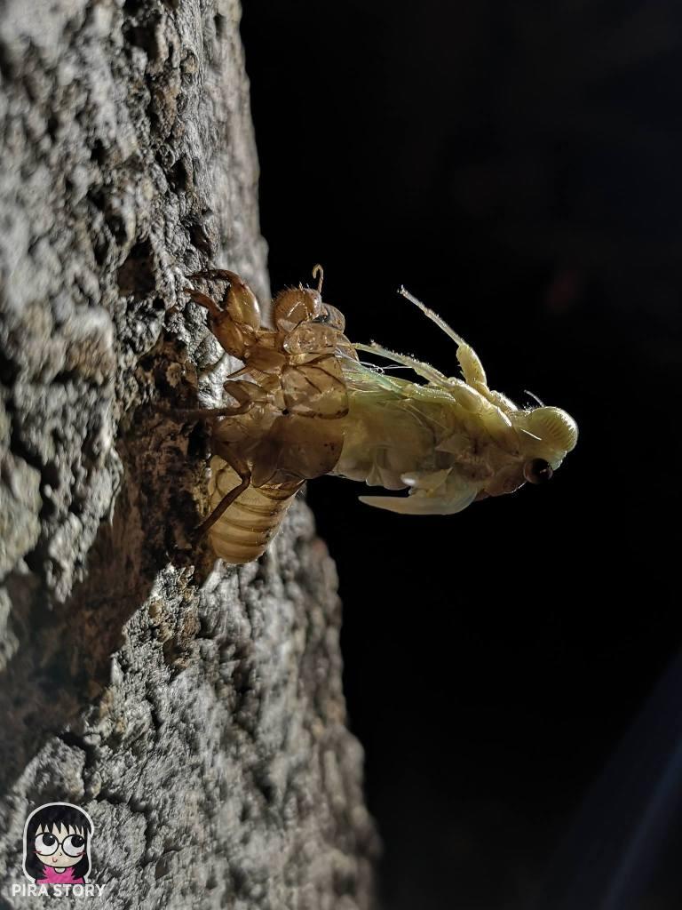 จักจั่น, จั๊กจั่น, cicada, metamorphosis, insect, แมลง 14