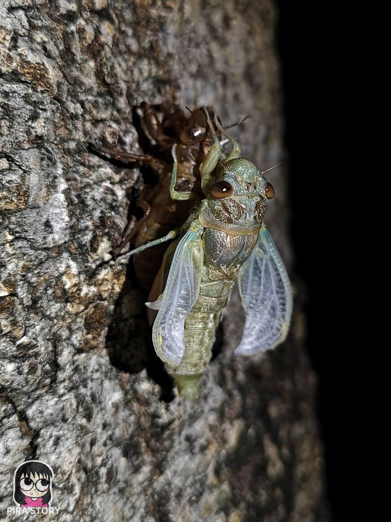 จักจั่น, จั๊กจั่น, cicada, metamorphosis, insect, แมลง 19