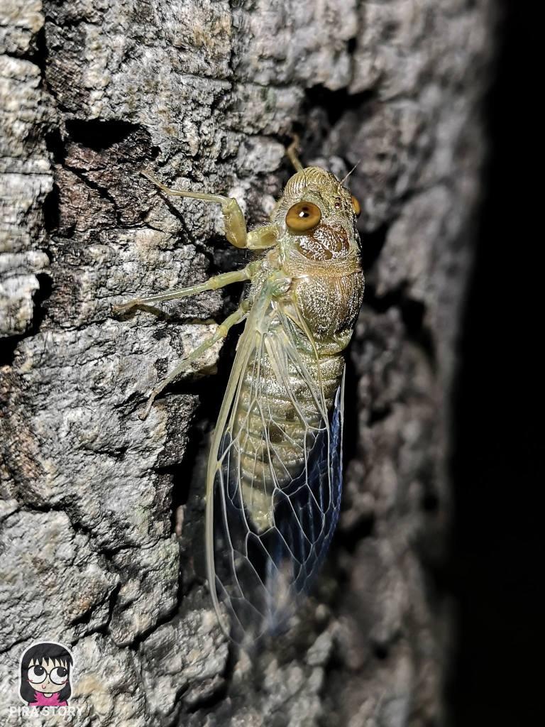 จักจั่น, จั๊กจั่น, cicada, metamorphosis, insect, แมลง 30