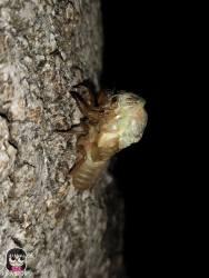 จักจั่น, จั๊กจั่น, cicada, metamorphosis, insect, แมลง, ลอกคราบ, เมทามอโฟซิส, เมตามอโฟซิส