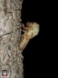 จักจั่น, จั๊กจั่น, cicada, metamorphosis, insect, แมลง 6