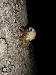 จักจั่น, จั๊กจั่น, cicada, metamorphosis, insect, แมลง 7