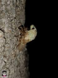จักจั่น, จั๊กจั่น, cicada, metamorphosis, insect, แมลง 8