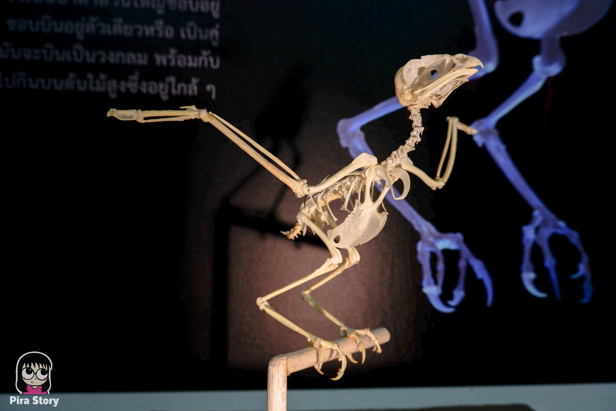 ความลับของโครงกระดูก Skeleton's Secrets ศึกษากายวิภาคสัตว์ ที่พิพิธภัณฑ์ จุฬาลงกรณ์มหาวิทยาลัย คณะวิทยาศาสตร์ ชีววิทยา Night at the museum 2020 เที่ยวพิพิธภัณฑ์ เที่ยวกรุงเทพ สยาม กระดูกสัตว์ กายวิภาคศาสตร์ โครงสร้างร่างกาย โครงสร้างกระดูก สัตว์เลี้ยงลูกด้วยนม สัตว์มีกระดูกสันหลัง กระดูกนกแสก นกแสก นกฮูก นกเค้าแมว