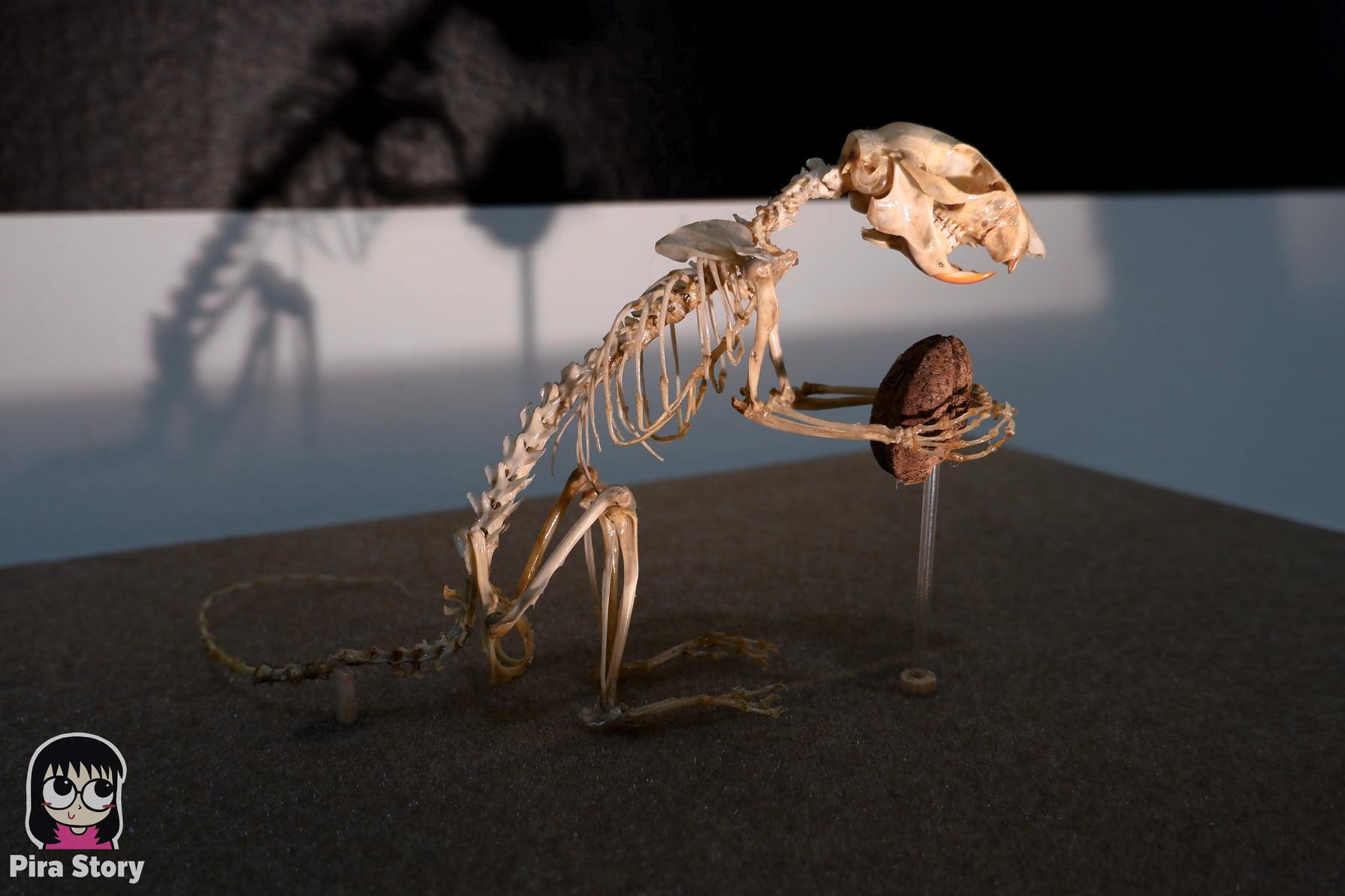 ความลับของโครงกระดูก Skeleton's Secrets ศึกษากายวิภาคสัตว์ ที่พิพิธภัณฑ์ จุฬาลงกรณ์มหาวิทยาลัย คณะวิทยาศาสตร์ ชีววิทยา Night at the museum 2020 เที่ยวพิพิธภัณฑ์ เที่ยวกรุงเทพ สยาม กระดูกสัตว์ กายวิภาคศาสตร์ โครงสร้างร่างกาย โครงสร้างกระดูก สัตว์เลี้ยงลูกด้วยนม สัตว์มีกระดูกสันหลัง กระดูกกระรอก ลูกนัท