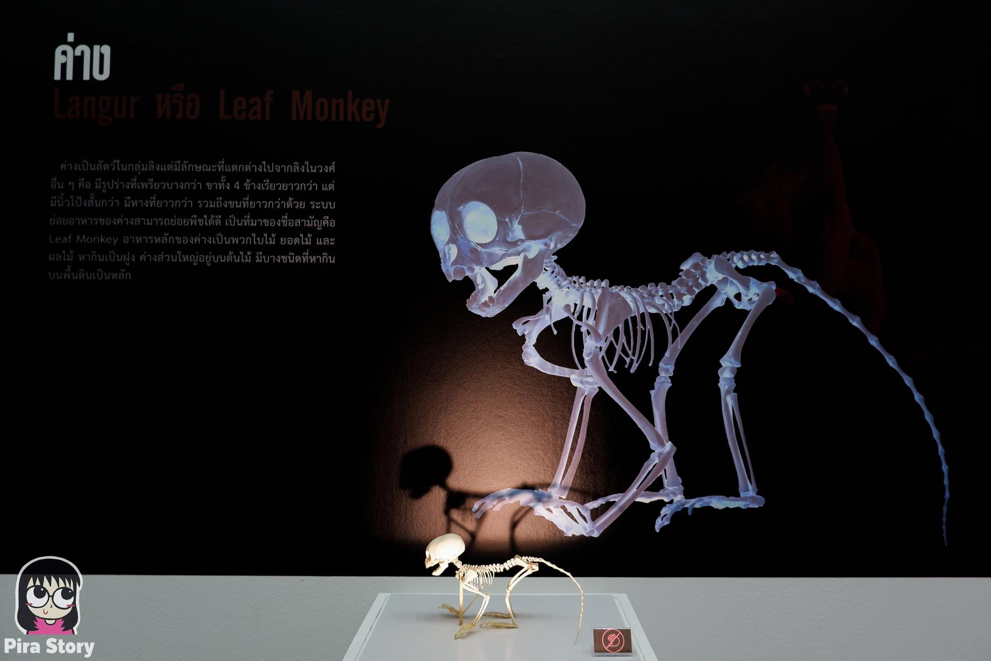 ความลับของโครงกระดูก Skeleton's Secrets ศึกษากายวิภาคสัตว์ ที่พิพิธภัณฑ์ จุฬาลงกรณ์มหาวิทยาลัย คณะวิทยาศาสตร์ ชีววิทยา Night at the museum 2020 เที่ยวพิพิธภัณฑ์ เที่ยวกรุงเทพ สยาม กระดูกสัตว์ กายวิภาคศาสตร์ โครงสร้างร่างกาย โครงสร้างกระดูก สัตว์เลี้ยงลูกด้วยนม สัตว์มีกระดูกสันหลัง กระดูกค่าง ค่าง ค่างแว่น
