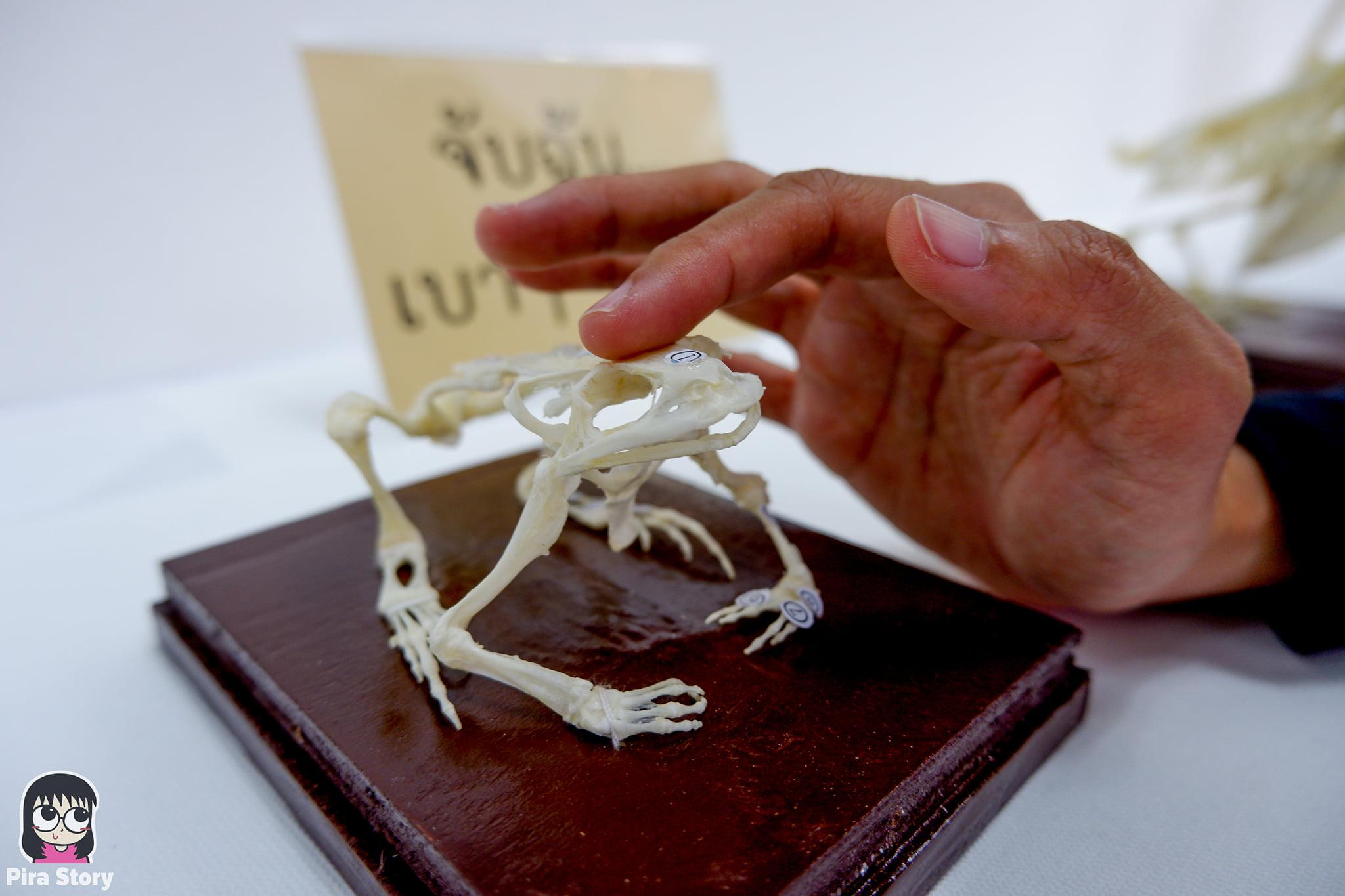 ความลับของโครงกระดูก Skeleton's Secrets ศึกษากายวิภาคสัตว์ ที่พิพิธภัณฑ์ จุฬาลงกรณ์มหาวิทยาลัย คณะวิทยาศาสตร์ ชีววิทยา Night at the museum 2020 เที่ยวพิพิธภัณฑ์ เที่ยวกรุงเทพ สยาม กระดูกสัตว์ กายวิภาคศาสตร์ โครงสร้างร่างกาย โครงสร้างกระดูก สัตว์เลี้ยงลูกด้วยนม สัตว์มีกระดูกสันหลัง กระดูกกบ โครงสร้างกบ ผ่ากบ