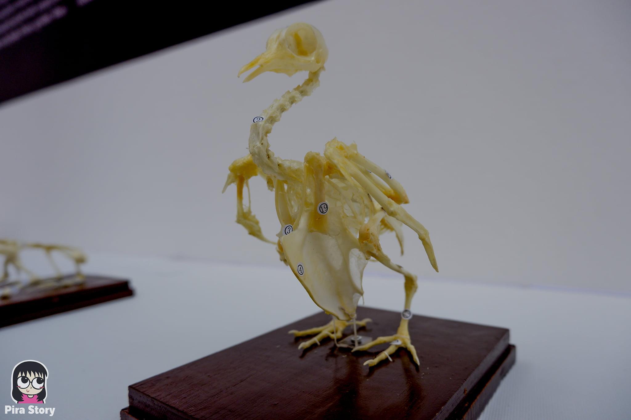 ความลับของโครงกระดูก Skeleton's Secrets ศึกษากายวิภาคสัตว์ ที่พิพิธภัณฑ์ จุฬาลงกรณ์มหาวิทยาลัย คณะวิทยาศาสตร์ ชีววิทยา Night at the museum 2020 เที่ยวพิพิธภัณฑ์ เที่ยวกรุงเทพ สยาม กระดูกสัตว์ กายวิภาคศาสตร์ โครงสร้างร่างกาย โครงสร้างกระดูก สัตว์เลี้ยงลูกด้วยนม สัตว์มีกระดูกสันหลัง กระดูกกบ โครงสร้างกบ ผ่ากบ กระดูกไก่