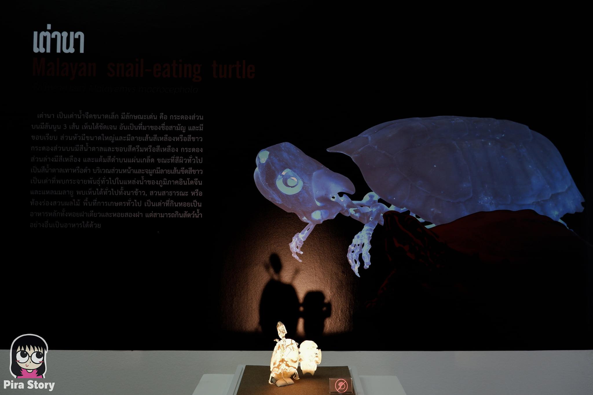 ความลับของโครงกระดูก Skeleton's Secrets ศึกษากายวิภาคสัตว์ ที่พิพิธภัณฑ์ จุฬาลงกรณ์มหาวิทยาลัย คณะวิทยาศาสตร์ ชีววิทยา Night at the museum 2020 เที่ยวพิพิธภัณฑ์ เที่ยวกรุงเทพ สยาม กระดูกสัตว์ กายวิภาคศาสตร์ โครงสร้างร่างกาย โครงสร้างกระดูก สัตว์เลี้ยงลูกด้วยนม สัตว์มีกระดูกสันหลัง กระดูกเต่า กระดองเต่า เต่านา