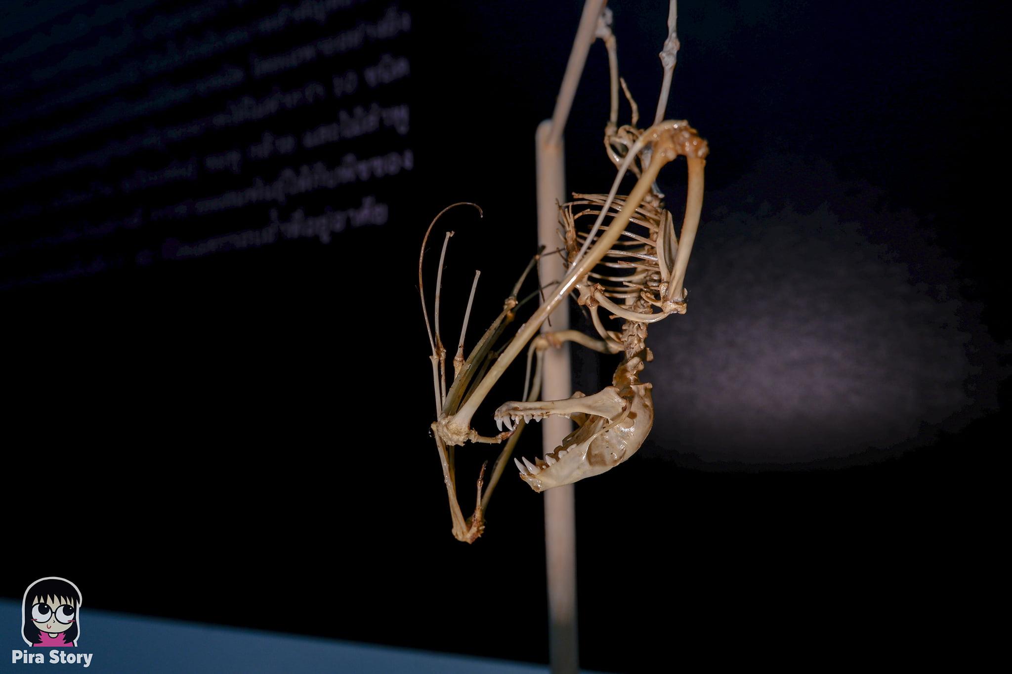 ความลับของโครงกระดูก Skeleton's Secrets ศึกษากายวิภาคสัตว์ ที่พิพิธภัณฑ์ จุฬาลงกรณ์มหาวิทยาลัย คณะวิทยาศาสตร์ ชีววิทยา Night at the museum 2020 เที่ยวพิพิธภัณฑ์ เที่ยวกรุงเทพ สยาม กระดูกสัตว์ กายวิภาคศาสตร์ โครงสร้างร่างกาย โครงสร้างกระดูก สัตว์เลี้ยงลูกด้วยนม สัตว์มีกระดูกสันหลัง กระดูกค้างคาว