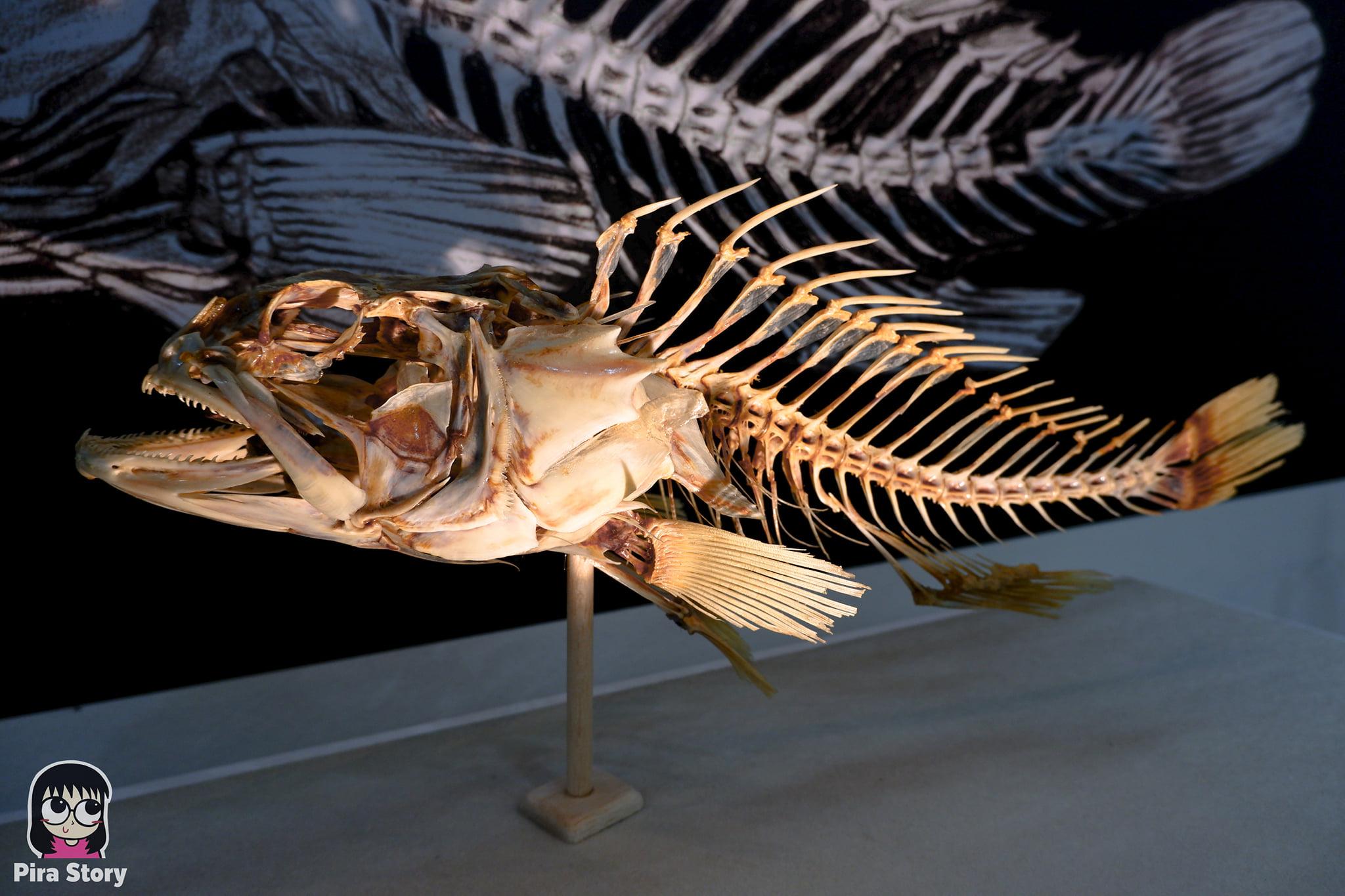 ความลับของโครงกระดูก Skeleton's Secrets ศึกษากายวิภาคสัตว์ ที่พิพิธภัณฑ์ จุฬาลงกรณ์มหาวิทยาลัย คณะวิทยาศาสตร์ ชีววิทยา Night at the museum 2020 เที่ยวพิพิธภัณฑ์ เที่ยวกรุงเทพ สยาม กระดูกสัตว์ กายวิภาคศาสตร์ โครงสร้างร่างกาย โครงสร้างกระดูก สัตว์เลี้ยงลูกด้วยนม สัตว์มีกระดูกสันหลัง กระดูกปลา ก้างปลา ปลาเก๋า ก้างปลาเก๋า กระดูกปลาเก๋า