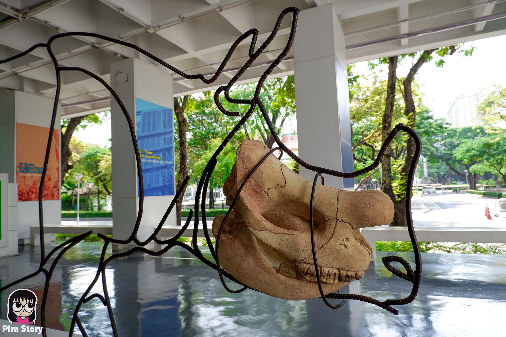 ความลับของโครงกระดูก Skeleton's Secrets ศึกษากายวิภาคสัตว์ ที่พิพิธภัณฑ์ จุฬาลงกรณ์มหาวิทยาลัย คณะวิทยาศาสตร์ ชีววิทยา Night at the museum 2020 เที่ยวพิพิธภัณฑ์ เที่ยวกรุงเทพ สยาม กระดูกสัตว์ กายวิภาคศาสตร์ โครงสร้างร่างกาย โครงสร้างกระดูก สัตว์เลี้ยงลูกด้วยนม สัตว์มีกระดูกสันหลัง กระดูกแรด