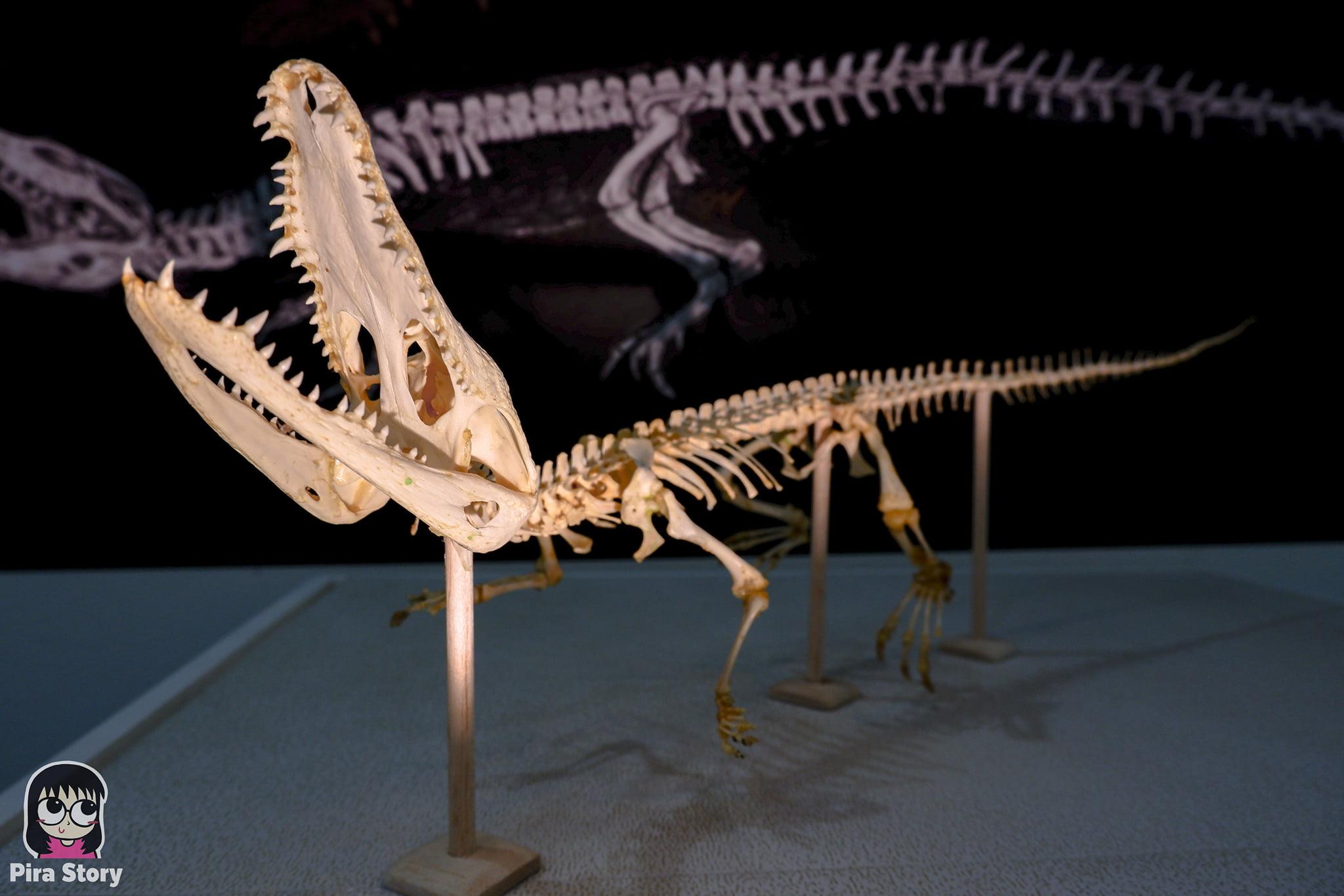 ความลับของโครงกระดูก Skeleton's Secrets ศึกษากายวิภาคสัตว์ ที่พิพิธภัณฑ์ จุฬาลงกรณ์มหาวิทยาลัย คณะวิทยาศาสตร์ ชีววิทยา Night at the museum 2020 เที่ยวพิพิธภัณฑ์ เที่ยวกรุงเทพ สยาม กระดูกสัตว์ กายวิภาคศาสตร์ โครงสร้างร่างกาย โครงสร้างกระดูก สัตว์เลี้ยงลูกด้วยนม สัตว์มีกระดูกสันหลัง กระดูกจระเข้ ตะโขง จระเข้ อัลลิเกเตอร์