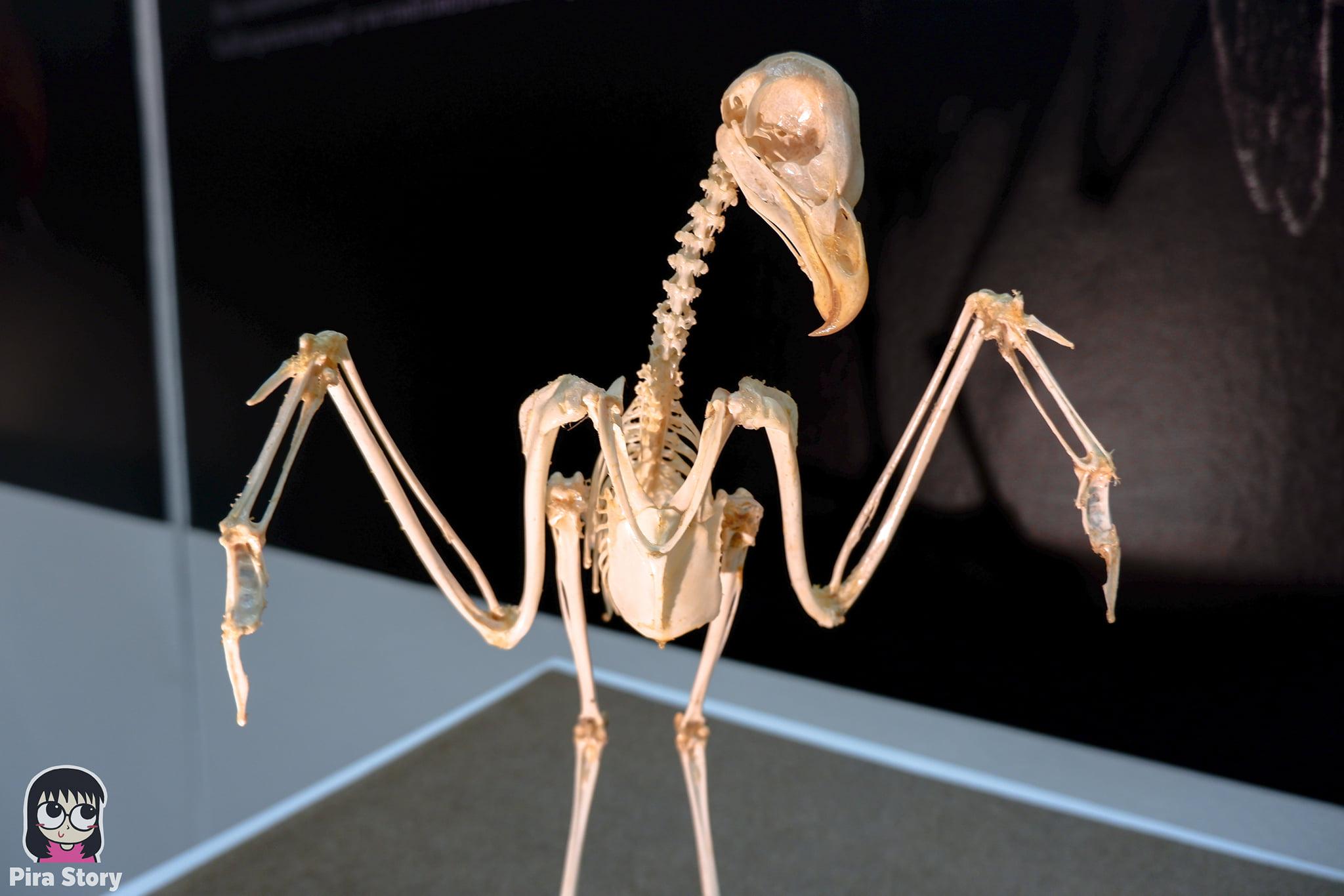 ความลับของโครงกระดูก Skeleton's Secrets ศึกษากายวิภาคสัตว์ ที่พิพิธภัณฑ์ จุฬาลงกรณ์มหาวิทยาลัย คณะวิทยาศาสตร์ ชีววิทยา Night at the museum 2020 เที่ยวพิพิธภัณฑ์ เที่ยวกรุงเทพ สยาม กระดูกสัตว์ กายวิภาคศาสตร์ โครงสร้างร่างกาย โครงสร้างกระดูก สัตว์เลี้ยงลูกด้วยนม สัตว์มีกระดูกสันหลัง กระดูกไก่ กระดูกนก